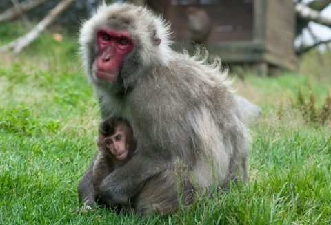 Snow Monkey with Baby