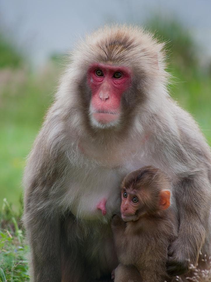 2012-13 2_Snow Monkey Mother & Child C